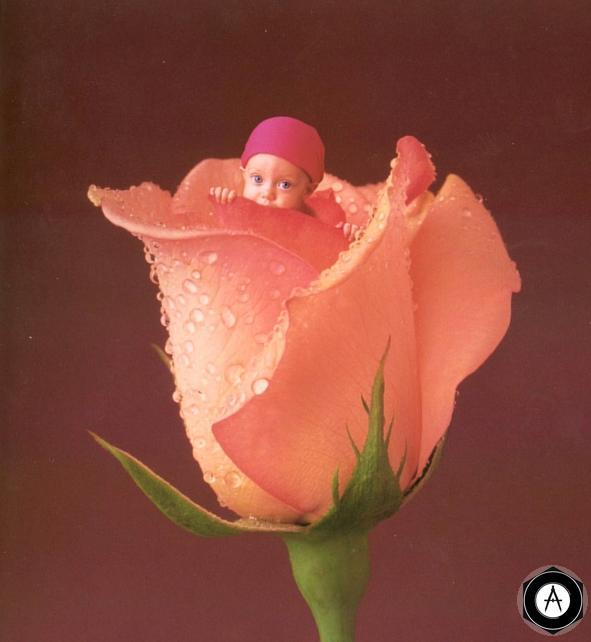 в бутоне розы